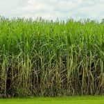 sugarcane_600